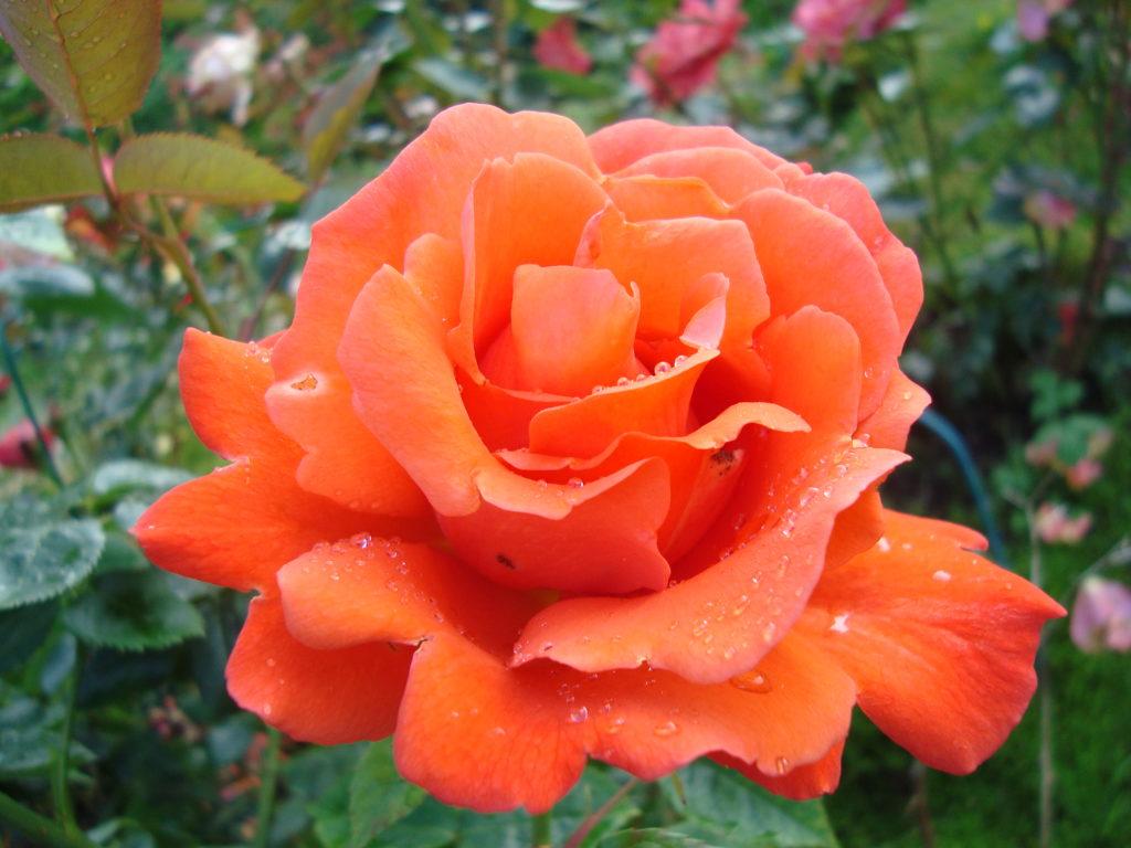 Rosa 'Alexander'